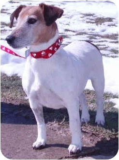 Jack Russell Terrier Mix Dog for adoption in Thomasville, North Carolina - Lilly