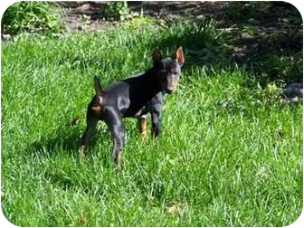 Miniature Pinscher Puppy for adoption in Crown Point, Indiana - Commando