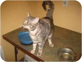 Domestic Shorthair Cat for adoption in Libby, Montana - Foxy