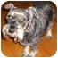 Photo 1 - Schnauzer (Miniature) Dog for adoption in Redondo Beach, California - Deana