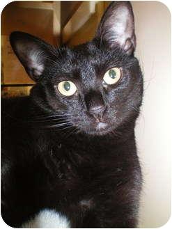 Domestic Shorthair Cat for adoption in Jenkintown, Pennsylvania - Hope