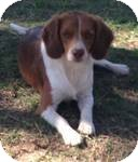 Brittany Mix Dog for adoption in Manchester, Connecticut - Phenius  ADOPTION PENDING