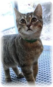 Domestic Shorthair Kitten for adoption in Shelton, Washington - Cello