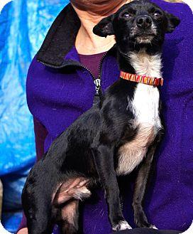 Chihuahua Dog for adoption in Sacramento, California - Max tiny boy