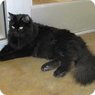 Domestic Longhair Cat for adoption in Denver, Colorado - Inuysha