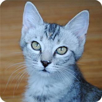 Domestic Shorthair Kitten for adoption in Weatherford, Texas - Prius