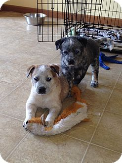 Australian Cattle Dog Puppy for adoption in Columbus, Ohio - Louise