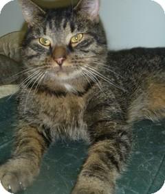 Domestic Shorthair Cat for adoption in Hamburg, New York - Uncle Fester