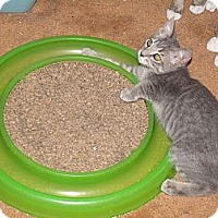 Adopt A Pet :: Bonnie-face fascination - Scottsdale, AZ