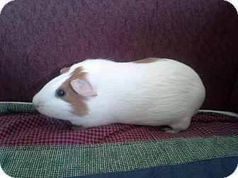 Guinea Pig for adoption in San Antonio, Texas - Melanie