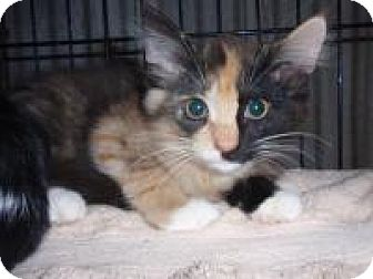 Domestic Longhair Cat for adoption in East Brunswick, New Jersey - Sadie