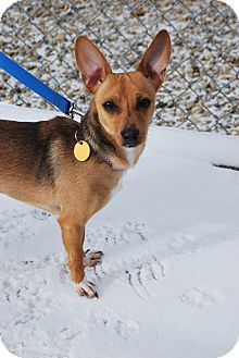Chihuahua Mix Dog for adoption in Berea, Ohio - Scooby
