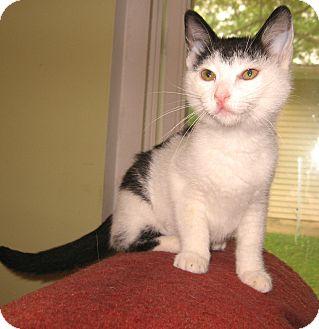 Domestic Shorthair Kitten for adoption in Colmar, Pennsylvania - Moo