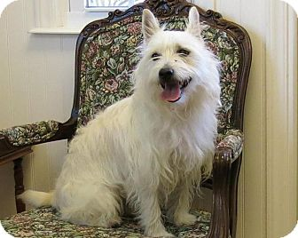 Westie, West Highland White Terrier Mix Dog for adoption in High Point, North Carolina - Holly