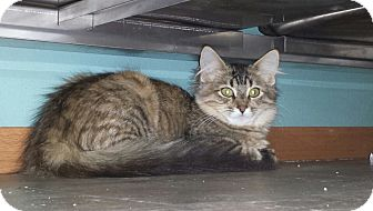 Calico Cat for adoption in New London, Wisconsin - Wall-e