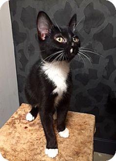 Domestic Shorthair Kitten for adoption in Novato, California - Lenny