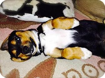 Shepherd (Unknown Type)/Rottweiler Mix Puppy for adoption in Princeton, Kentucky - Rocco