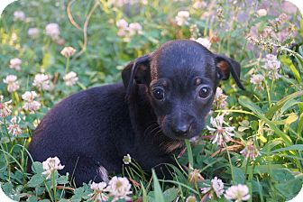 Dachshund/Chihuahua Mix Puppy for adoption in Newark, Delaware - Pinkie Pie