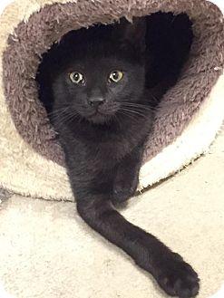 Domestic Shorthair Kitten for adoption in Bensalem, Pennsylvania - Peppermint Patty