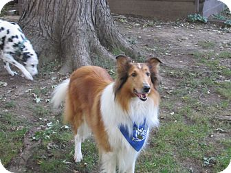 Collie Dog for adoption in Powell, Ohio - Maddie