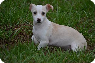 Dachshund/Chihuahua Mix Puppy for adoption in Lebanon, Missouri - Paisley
