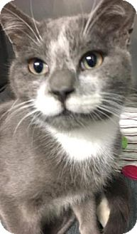 Domestic Shorthair Cat for adoption in Voorhees, New Jersey - Eustace
