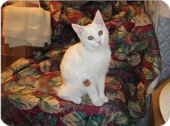 Domestic Shorthair Kitten for adoption in Colmar, Pennsylvania - Henree-Adoption Pending!