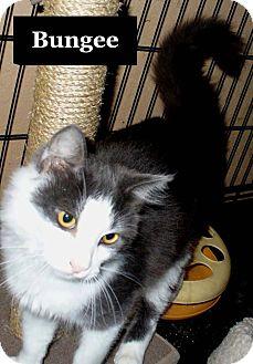 Domestic Longhair Cat for adoption in Bentonville, Arkansas - Bungee