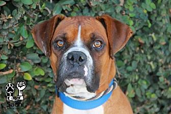 Boxer Dog for adoption in Los Angeles, California - Elvis