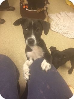 Labrador Retriever/Shepherd (Unknown Type) Mix Puppy for adoption in Fair Oaks Ranch, Texas - 7 Box puppies