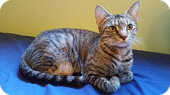 Domestic Shorthair Cat for adoption in Middlebury, Connecticut - Nala