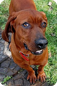 Redbone Coonhound Dog for adoption in Salem, West Virginia - Oliver