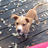 Adopt A Pet :: Felix - Fair Oaks Ranch, TX
