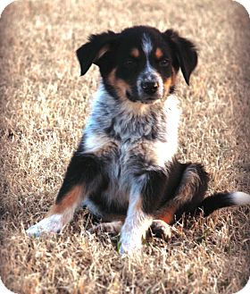 Australian Cattle Dog/Border Collie Mix Puppy for adoption in Westport, Connecticut - *Maximus - PENDING