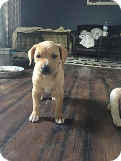 Labrador Retriever Mix Puppy for adoption in waterbury, Connecticut - Joanna