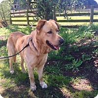 Golden Retriever/Labrador Retriever Mix Dog for adoption in Penngrove, California - Buddy