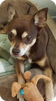 Chihuahua Mix Dog for adoption in San Diego, California - Lady