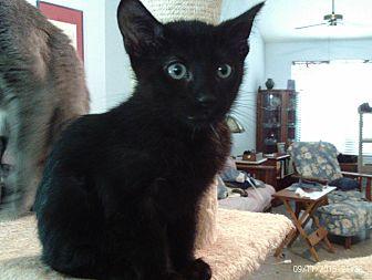 Manx Cat for adoption in Houston, Texas - Max
