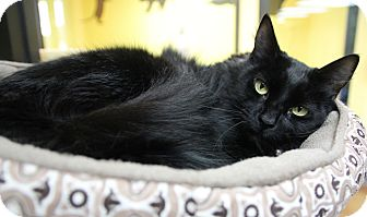 Domestic Mediumhair Cat for adoption in Benbrook, Texas - Ivy
