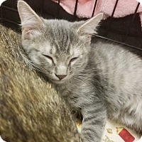 Adopt A Pet :: Grey - Rosamond, CA