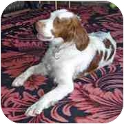 Brittany Dog for adoption in Louisville, Kentucky - Quincy - Adoption Pending!