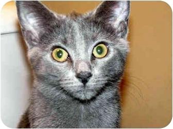 British Shorthair Cat for adoption in Xenia, Ohio - Maggie