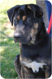 Rottweiler/Retriever (Unknown Type) Mix Puppy for adoption in Rochester/Buffalo, New York - Landon