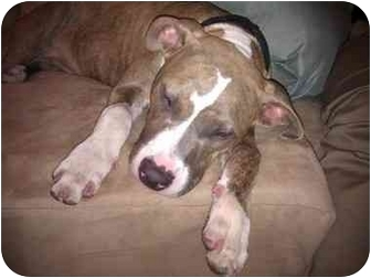 American Pit Bull Terrier Puppy for adoption in Reisterstown, Maryland - Bodi