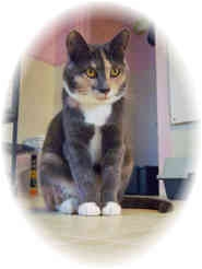 Domestic Shorthair Cat for adoption in Shelton, Washington - Sunni