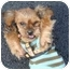 Photo 2 - Yorkie, Yorkshire Terrier Puppy for adoption in West Palm Beach, Florida - Sandee