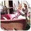 Photo 2 - Chihuahua Mix Dog for adoption in Sacramento, California - Stitches
