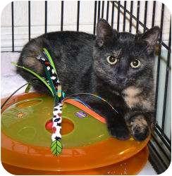 Domestic Shorthair Kitten for adoption in Stafford, Virginia - Autumn