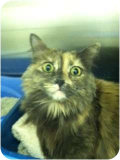 Domestic Longhair Cat for adoption in Beverly, Massachusetts - Misty Breeze
