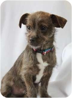 Terrier (Unknown Type, Small) Mix Puppy for adoption in Wichita, Kansas - Little Guy